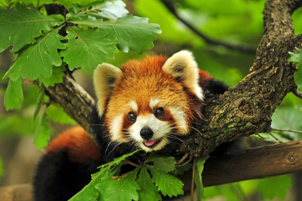 red Panda- wildlife Nepal