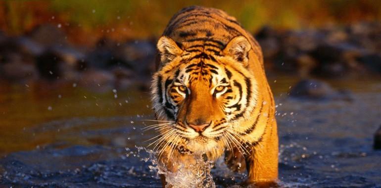 royal-bengal-tiger-nepal-amazon-of-asia
