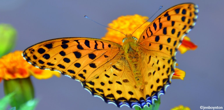 Butterfly in Nepal, this is why Nepal is known as amazon of Asia.
